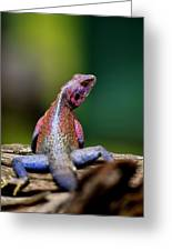 African Agama Lizard  Greeting Card