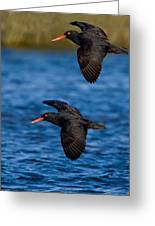 African Black Oystercatchers Greeting Card