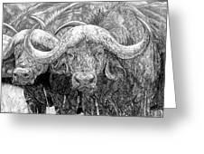 African Cape Buffalo Greeting Card