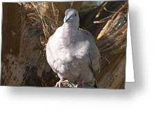 African Collared Dove 3 Greeting Card