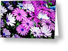 African Daisies - Arctotis Stoechadifolia Greeting Card