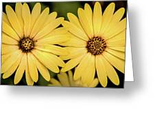 African Daisy-twice Greeting Card