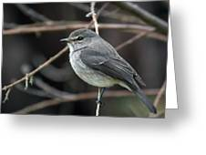 African Dusky Flycatcher Greeting Card
