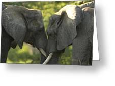African Elephants Loxodonta Africana Greeting Card