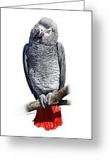 African Grey Parrot C Greeting Card