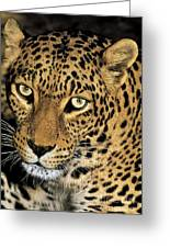African Leopard Panthera Pardus Captive Wildlife Rescue Greeting Card