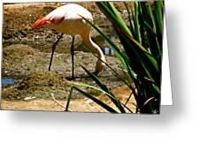 African Lesser Flamingo Greeting Card by Debra     Vatalaro