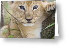 African Lion Cub Kenya Greeting Card by Suzi Eszterhas