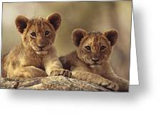 African Lion Cubs Resting On A Rock Greeting Card