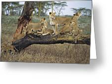 African Lion Panthera Leo Family Greeting Card by Konrad Wothe