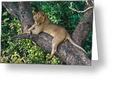 African Lion Panthera Leo On Tree, Lake Greeting Card