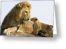 African Lion Panthera Leo Seven Greeting Card