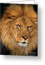 African Lion Panthera Leo Wildlife Rescue Greeting Card