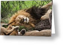 African Lion Sleeping In Serengeti Greeting Card