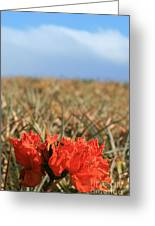 African Tulip Blossom Over Pineapple Field Aloha Makawao Greeting Card