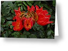 African Tulip Greeting Card