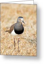 African Wattled Lapwing Vanellus Greeting Card