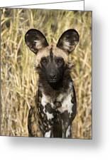 African Wild Dog Okavango Delta Botswana Greeting Card