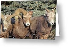 After The Rut Bighorn Sheep Greeting Card
