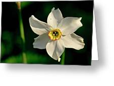 Afternoon Of Narcissus Poeticus. Greeting Card