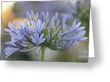 Agapanthus Africanus - Lily Of The Nile 2 Greeting Card