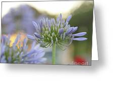 Agapanthus Africanus - Lily Of The Nile Greeting Card