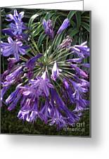 Agapanthus Flowers In Purple - New And Old Greeting Card
