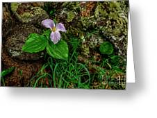 Aged White Trillium With Raindrops Greeting Card