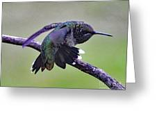 Aggressive Behavior - Ruby-throated Hummingbird Greeting Card