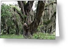Aging Oak Tree Greeting Card