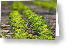 Agriculture- Soybeans 1 Greeting Card