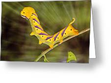 Agrius Convolvuli Greeting Card