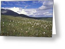 Alaska Cotton Eriophorum Scheuchzeri Greeting Card