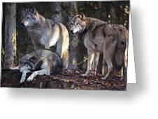 Alaska Wolf Trio Greeting Card