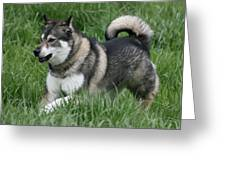 Alaskan Malamute 2 Greeting Card