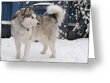 Alaskan Malamute In Snow 2 Greeting Card