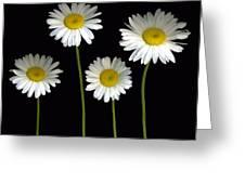 Alaskan Shasta Daisies Greeting Card