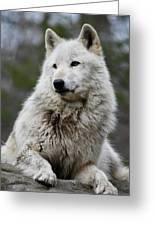 Alawa The Wolf Rests Greeting Card