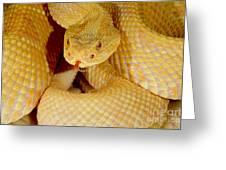 Albino Brazilian Rattlesnake Greeting Card