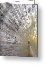 A Leucistic Peacock Greeting Card