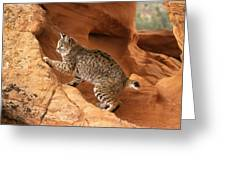 Alert Bobcat Greeting Card by Larry Allan
