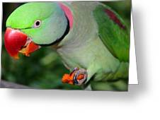 Alexandrine Parrot Feeding Greeting Card