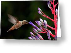 Allen's Hummingbird At Breakfast Greeting Card by Mike Herdering
