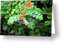 Allen's Hummingbird In Cape Honeysuckle Greeting Card