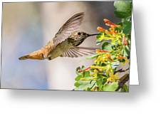 Allen's Hummingbird On Golden Currant Greeting Card