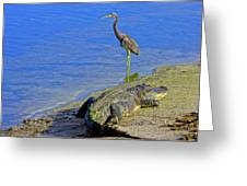 Alligator And Blue Heron Greeting Card