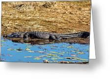 Alligator In The Sun Greeting Card