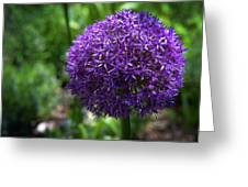 Allium Gladiator Closeup Greeting Card