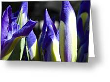 Almost Blooming - The Iris Greeting Card