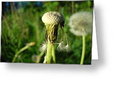 Almost Gone Dandelion Seeds Greeting Card